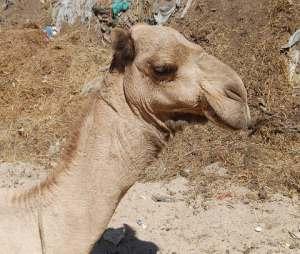 samarbeidspolitikk  medfører gjerne  kamelspising
