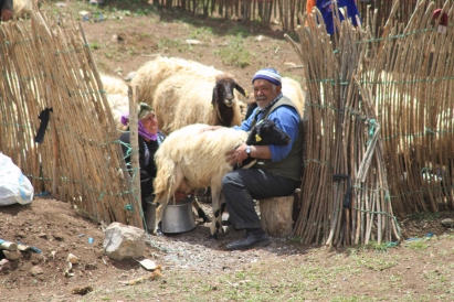Milking sheep, Hakkari, 20/5/11